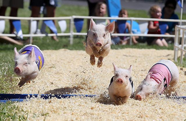 piggy race
