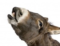 S200x600_3838515_donkey_4_years_in_front_of_a_white_background