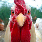 S200x600_small_mad_rooster_1414107882